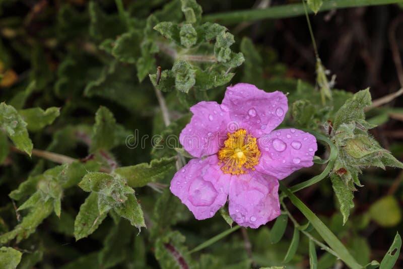 Hoary утес-Роза, розовое утес-Роза, creticus Cistus стоковое фото