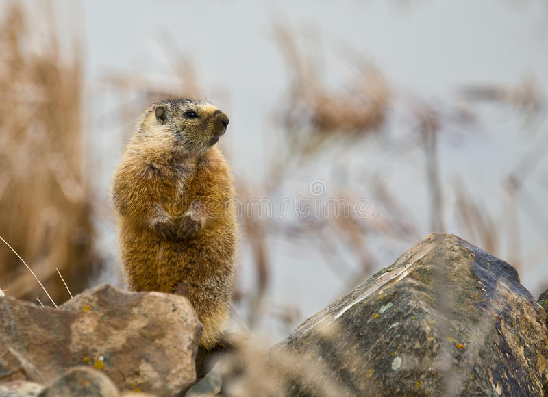 Download Hoary Marmot #1 stock photo. Image of natural, hoary - 19003020