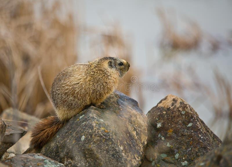 Download Hoary Marmot #2 stock image. Image of furry, fauna, mammal - 19003043