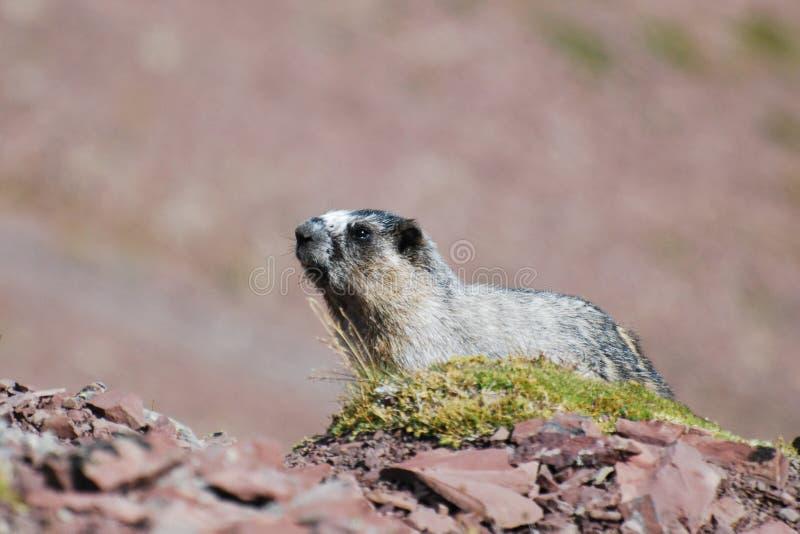 Hoary Marmot. (Marmota caligata royalty free stock photography