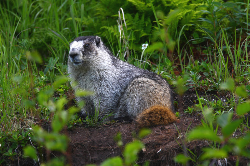 Hoary Marmot. Posing in an open area in the grass royalty free stock photo