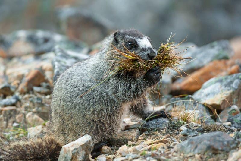 Hoary Marmot. Adult Hoary Marmot Gathering Grasses to Line Its Burrow stock photography