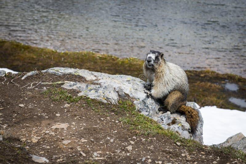 Hoary marmot, Banff National Park, Alberta, Canada. Hoary marmot sitting close to its burrow by Helen Lake in Banff National Park, Alberta, Canada stock photos