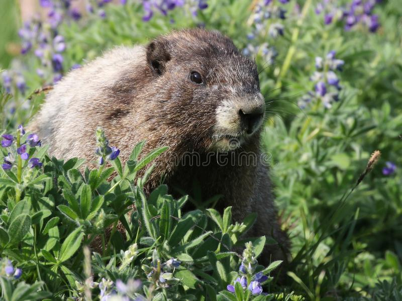 Hoary Marmot with Flowers. A Hoary Marmot with Lupine flowers. At Mount Rainier National Park royalty free stock images
