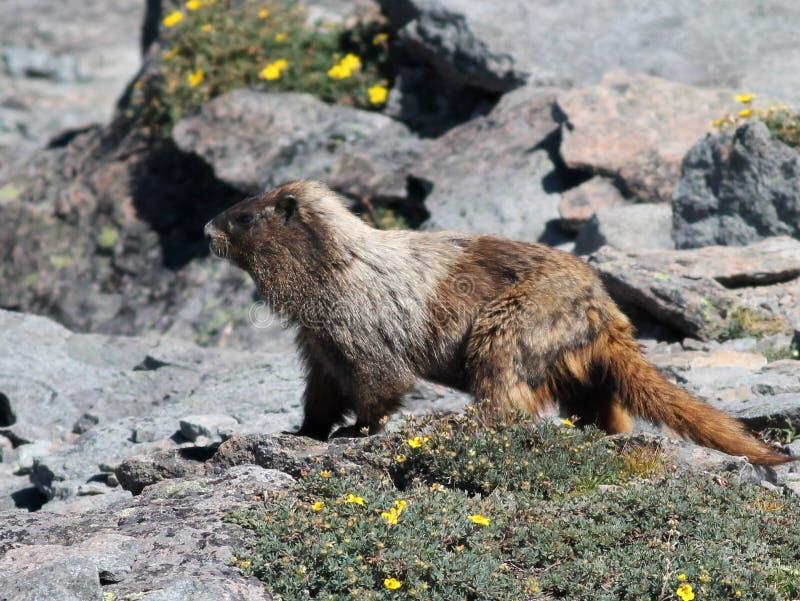 Hoary Marmot With Flowers Stock Photos