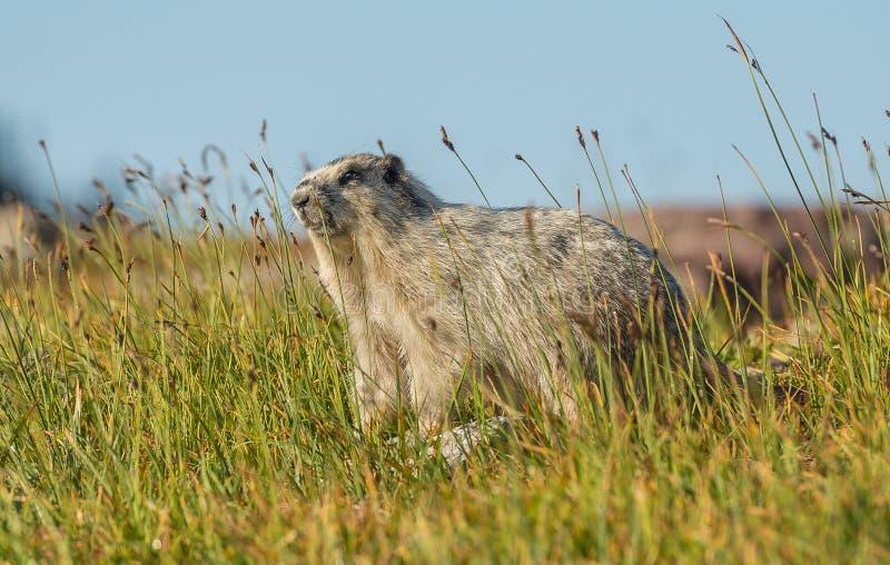 Hoary Marmot Glacier National Park. On Logan Pass Hidden Lake Nature Trail stock image