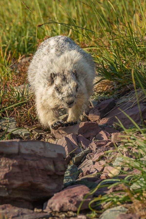 Hoary Marmot Glacier National Park. Off Logan Pass Hidden Lake Nature Trail stock image