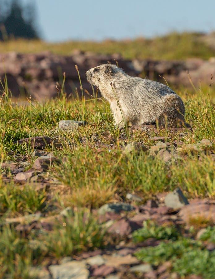 Hoary Marmot Glacier National Park. Off Logan Pass Hidden Lake Nature Trail royalty free stock photography