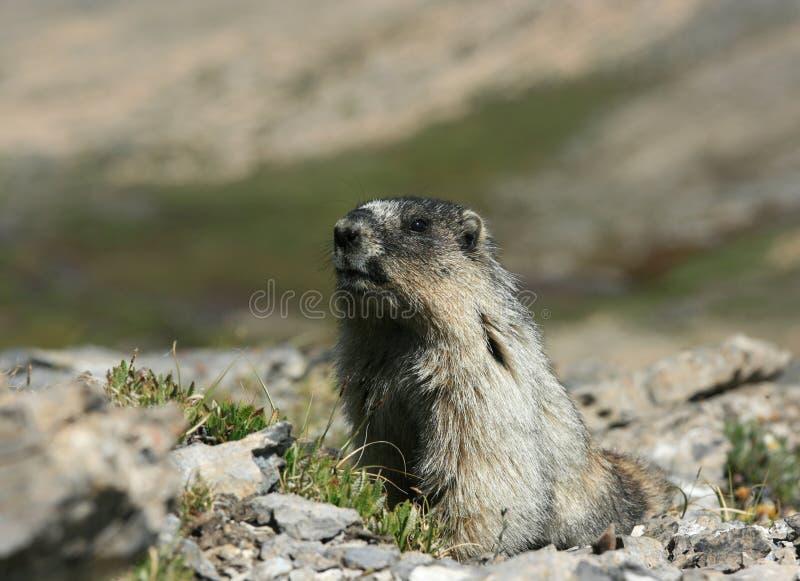 Hoary Marmot Looking at Camera stock photos