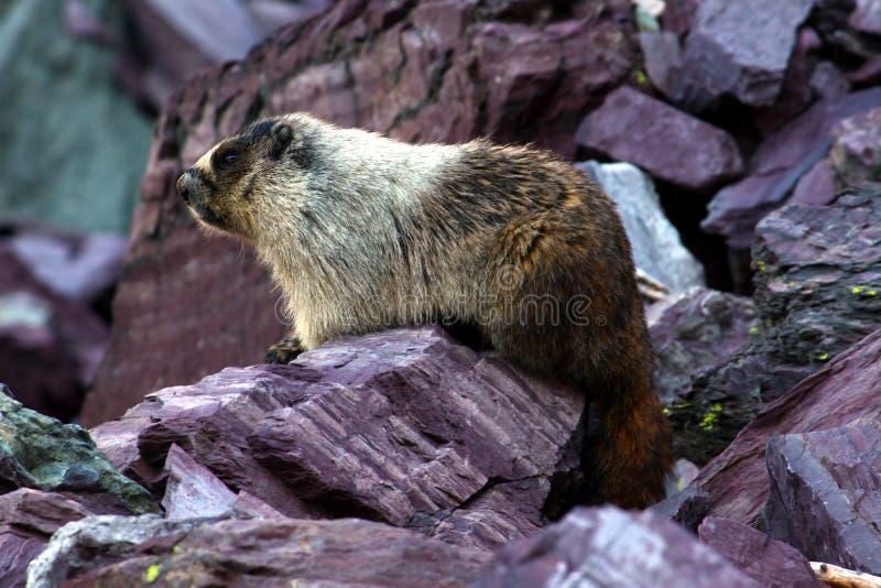 Hoary Marmot (Marmota caligata) royalty free stock photo