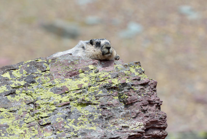 Hoary Marmot. A hoary marmot (Marmota caligata) basks in the sun on a rock in Glacier National Park, Montana, USA stock photography