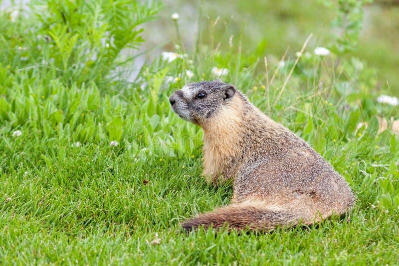 Hoary marmot (Marmota caligata) found in Alberta, Canada. A hoary marmot (Marmota caligata) in the Canadian Rockies, Alberta, Canada. The largest North American stock photo