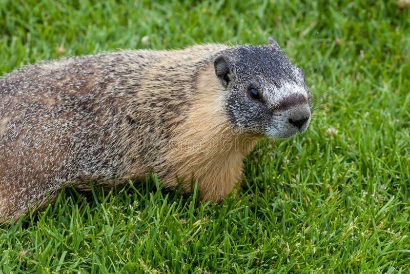 Hoary marmot (Marmota caligata) found in Alberta, Canada. A hoary marmot (Marmota caligata) in the Canadian Rockies, Alberta, Canada. The largest North American royalty free stock photography