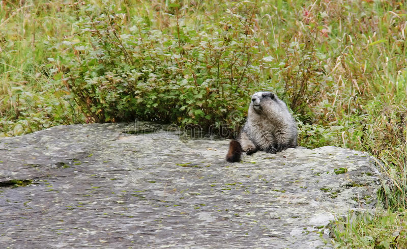 Hoary marmot (Marmota caligata) stock photo