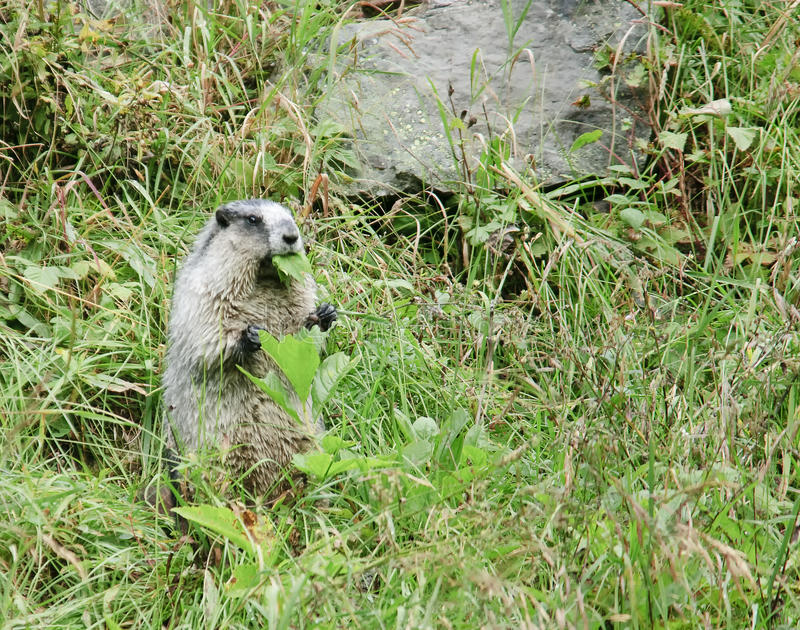 Hoary marmot (Marmota caligata) royalty free stock photography
