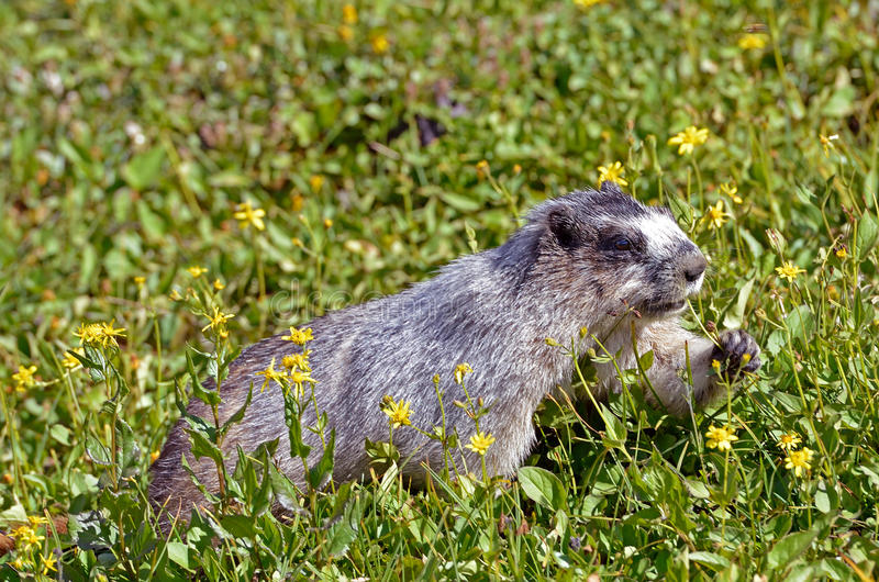 Hoary Marmot. A hoary marmot (Marmota caligata) munches on flowers in an alpine field in Glacier National Park, Montana, USA stock photo
