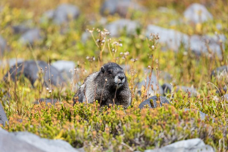A hoary marmot in a meadow in Mount Rainier National Park. In Washington state royalty free stock images