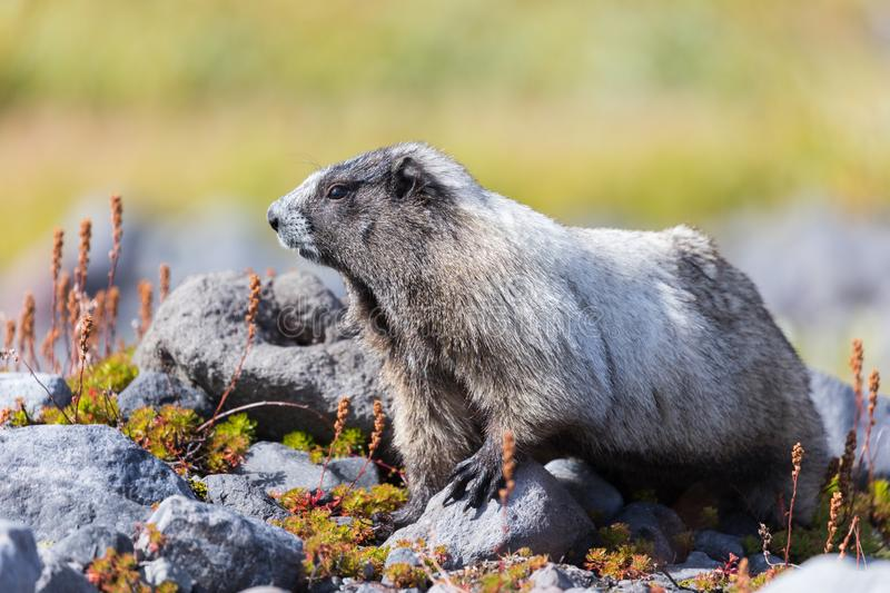 A hoary marmot in a meadow in Mount Rainier National Park. In Washington state royalty free stock photos