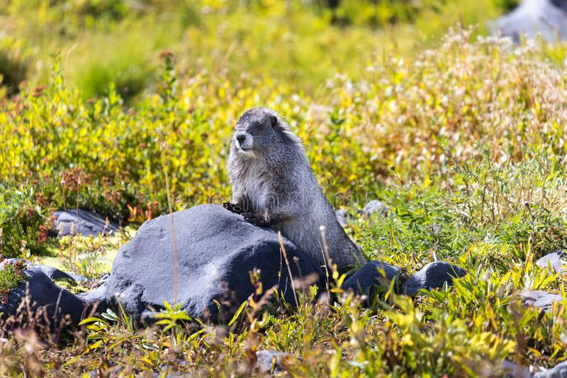 A hoary marmot in a meadow in Mt Rainier National Park. In Washington state stock photos