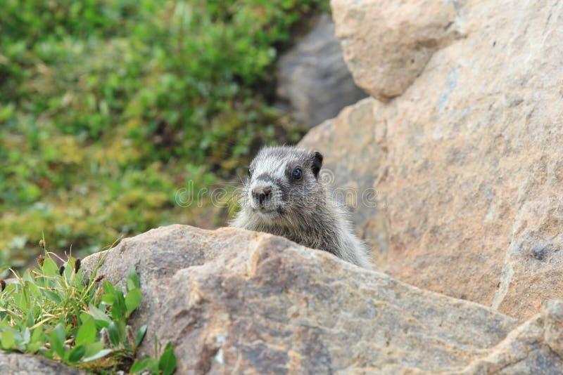 Hoary Marmot in Meadow. A Hoary Marmot peaking out from a rock in an Alberta Wildflower meadow stock photo