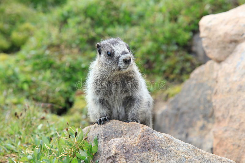 Hoary Marmot in Meadow. A Hoary Marmot peaking out from a rock in an Alberta Wildflower meadow stock photos