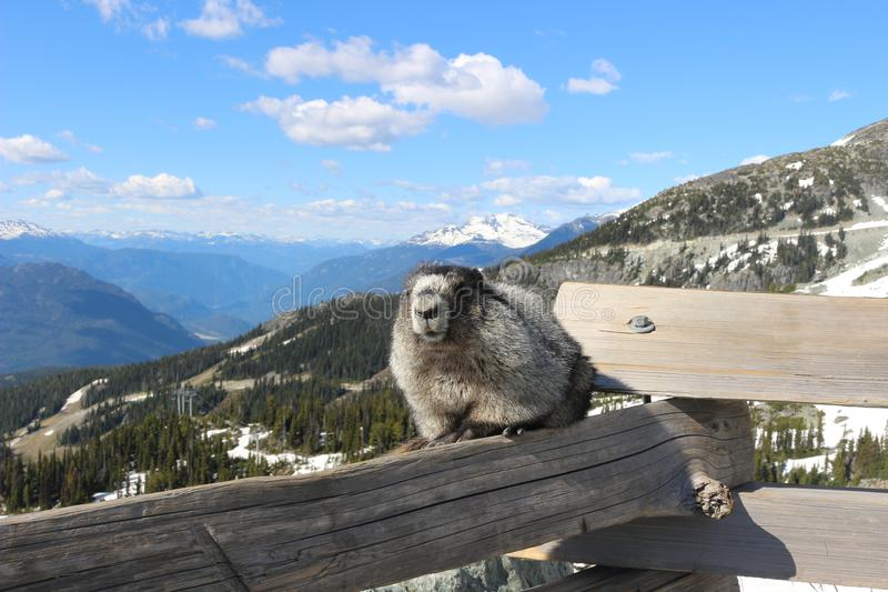 A Hoary marmot on a mountain with a beautiful mountain backdrop showing Whistler Blackcomb mountains. A Hoary marmot a mountain herbivore that thrives in the stock photo