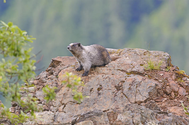 Hoary Marmot on a Mountain Outcrop stock images