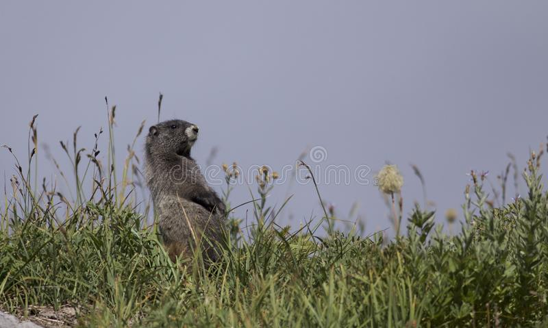 Hoary Marmot on Mt Rainier stock photo