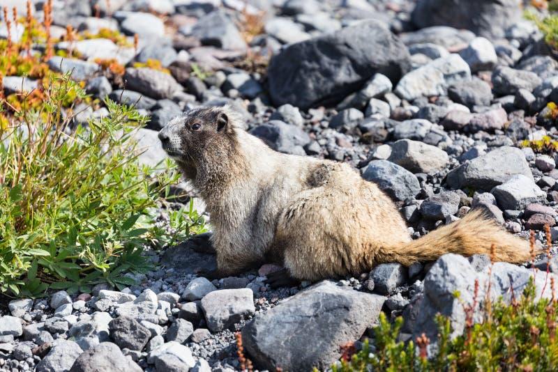 A hoary marmot in Mt Rainier National Park. In Washington state royalty free stock photos