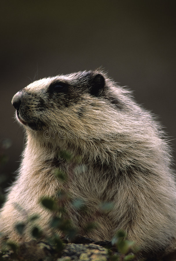 Hoary Marmot Portrait stock photo