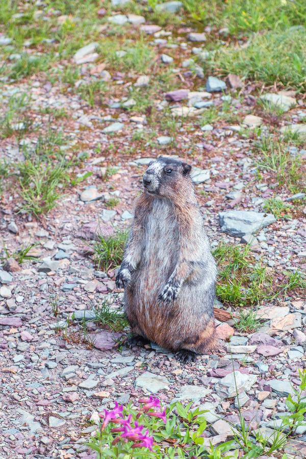 Hoary Marmot posing in the hiking trail to Hidden Lake Overlook.Glacier NP.Montana.USA. Hoary Marmot Marmota caligata posing in the hiking trail to Hidden Lake royalty free stock photography