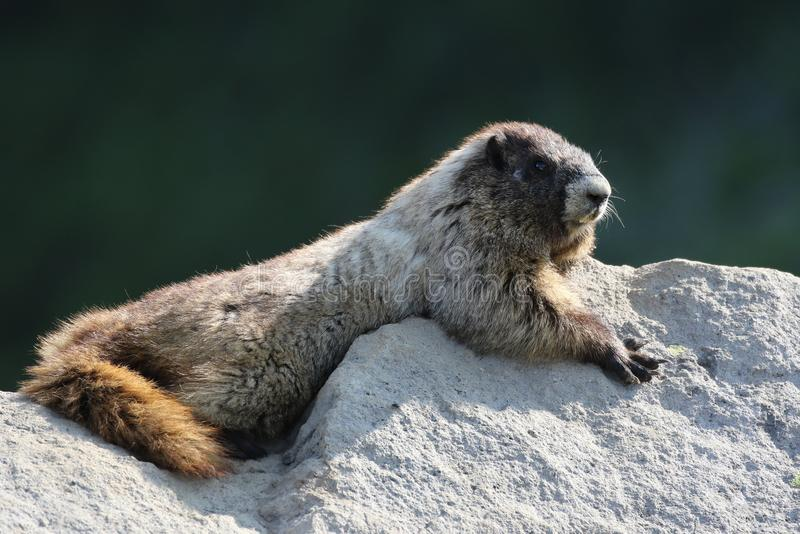 Hoary Marmot on a Rock. A Hoary Marmot relaxing on a Rock. At Mount Rainier National Park stock photography
