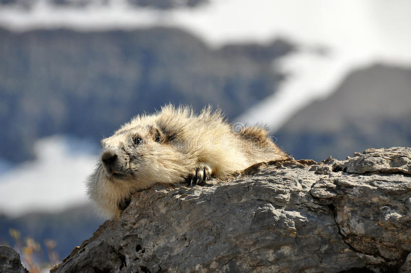 Hoary marmot. On a rock in Galcier USA royalty free stock photography