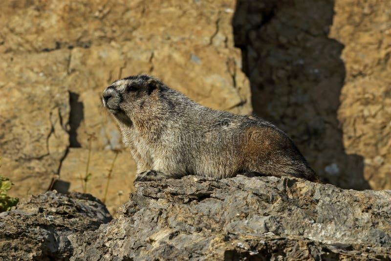 Hoary Marmot on a Rock. Glacier National Park, Montana royalty free stock images