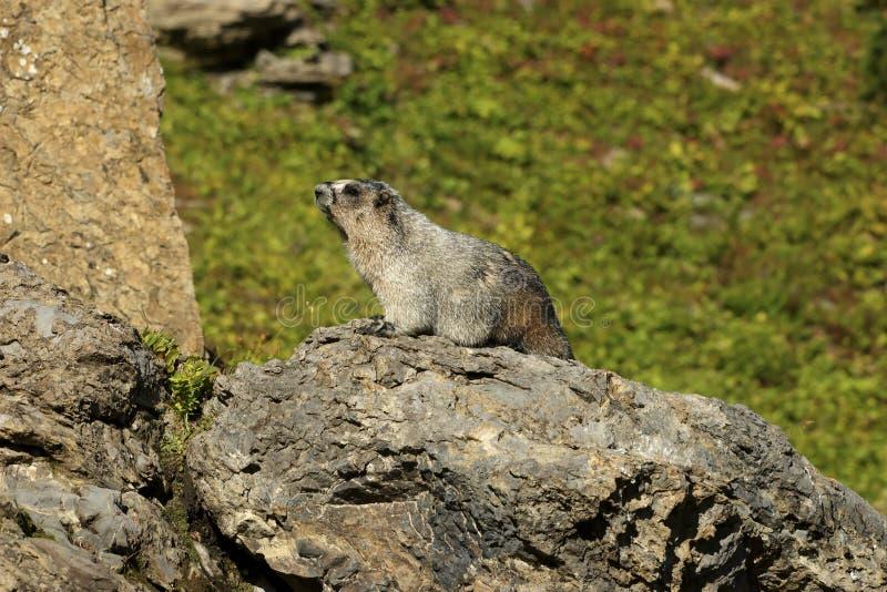 Hoary Marmot on a Rock. Glacier National Park, Montana royalty free stock image