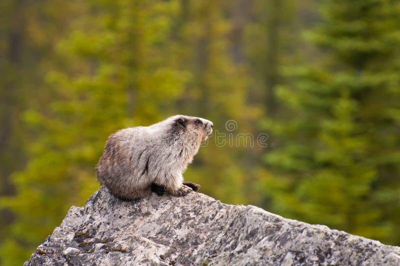 Hoary Marmot on rock. Hoary Marmot found in Banff National Park, Alberta, Canada stock images