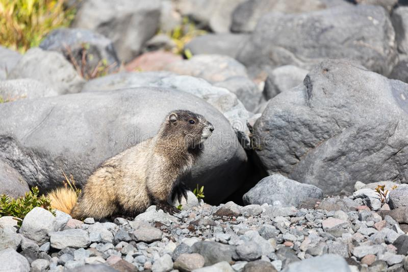 A hoary marmot sitting in front of its den in Mt Rainier National Park. A hoary marmot sitting in front on its den in Mt Rainier National Park in Washington stock photo