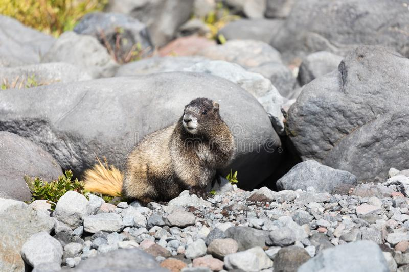 A hoary marmot sitting in front of its den in Mt Rainier National Park. A hoary marmot sitting in front on its den in Mt Rainier National Park in Washington stock images