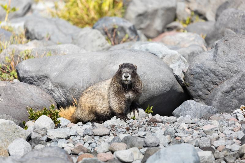 A hoary marmot sitting in front of its den in Mt Rainier National Park staring at the camera. A hoary marmot sitting in front on its den in Mt Rainier National stock images