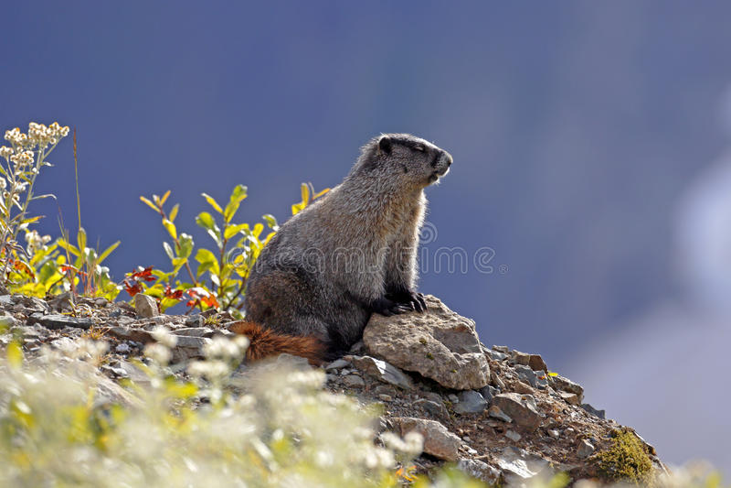 Hoary Marmot royalty free stock image