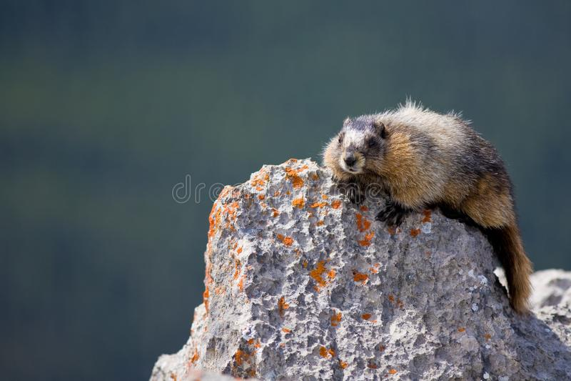 A hoary marmot sunning itslef on a rock. In the Canadian Rocky Mountains royalty free stock images