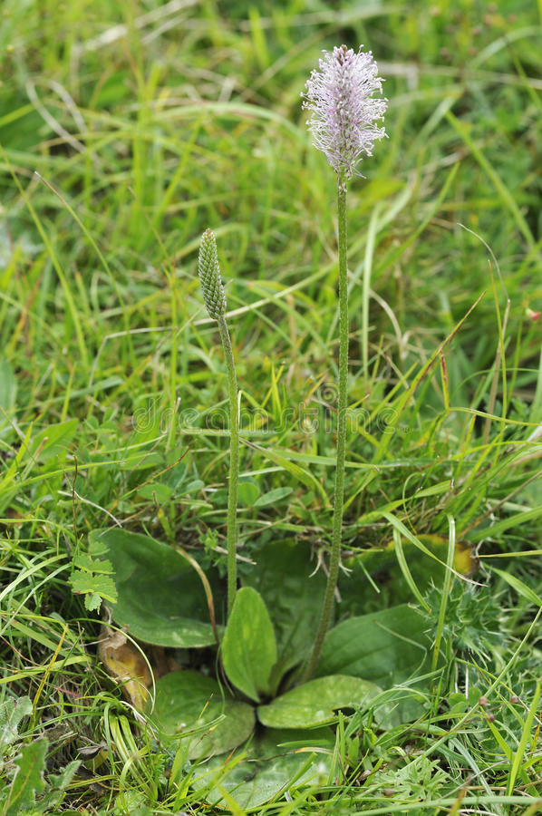 Download Hoary Plantain stock photo. Image of england, plantain - 26602342