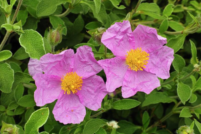 Hoary rock rose, flowers. Flowers and leaves of pink rock rose stock photo