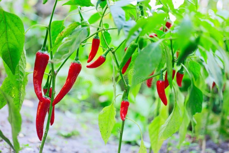 Hoat rött växa för chilipepparhusks royaltyfri foto