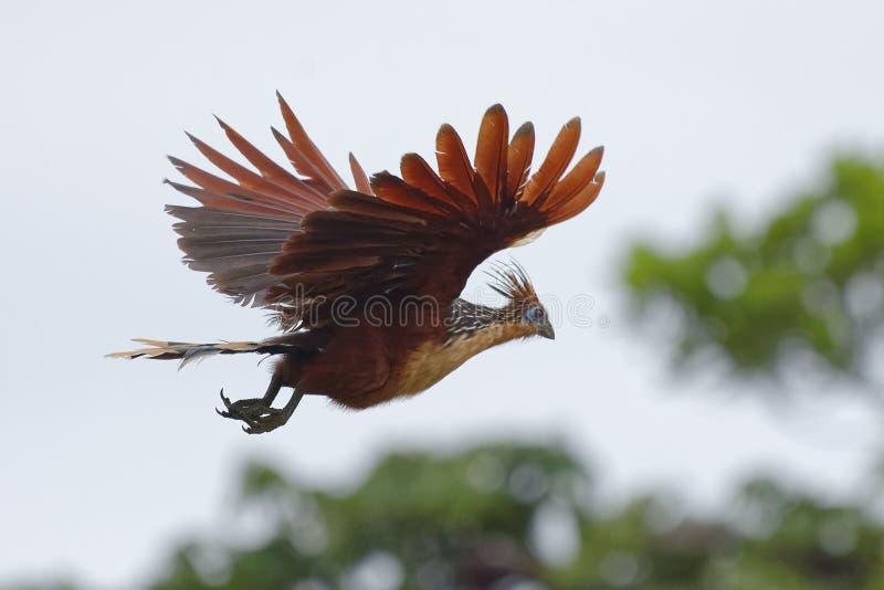 Hoatzin die - Opisthocomus hoazin vliegen - in Cuyabeno-het Wildreserve - Amazonië, Ecuador stock foto's