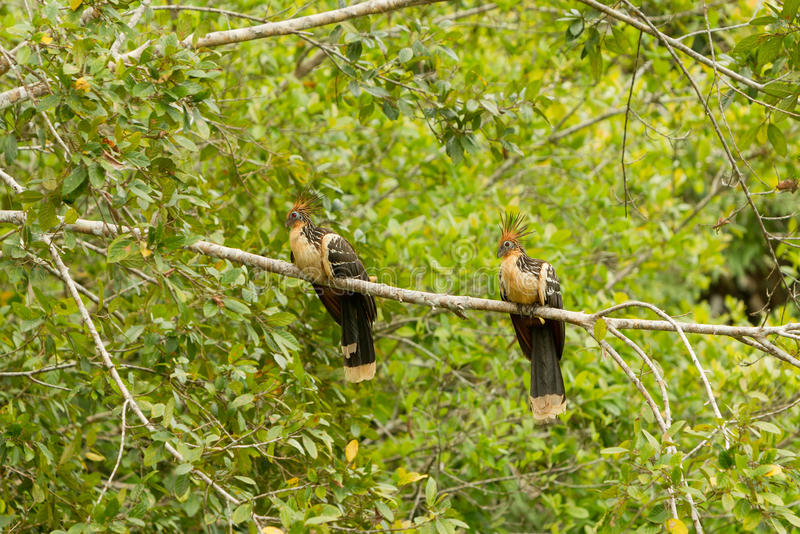 Hoatzin Pair In The Wild royalty free stock image