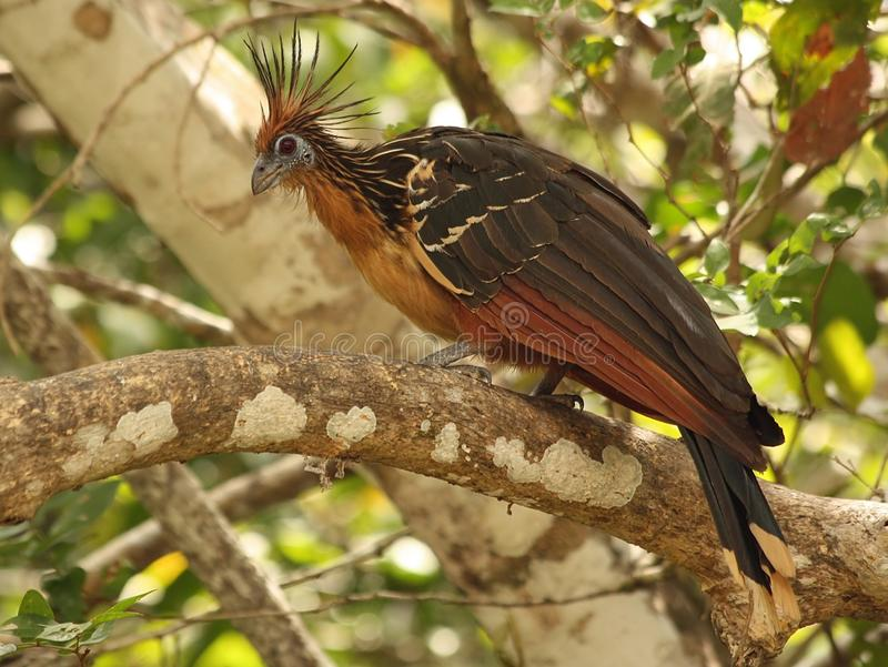 Hoatzin selvaggio nel Venezuela fotografie stock libere da diritti