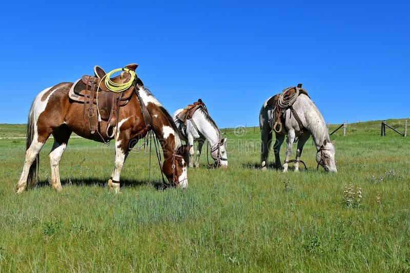 Hobbled horses graze during a roundup and branding. Leather straps are used to hobble horses during a roundup and branding session in ranch country stock image