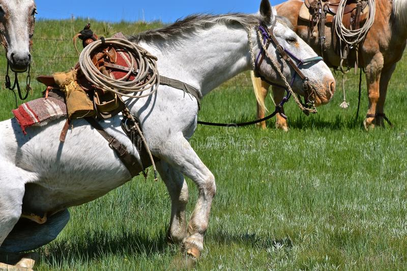 A hobbled horse stands up in a roundup and branding. A hobbled and saddled horse stands up during a roundup and branding royalty free stock images