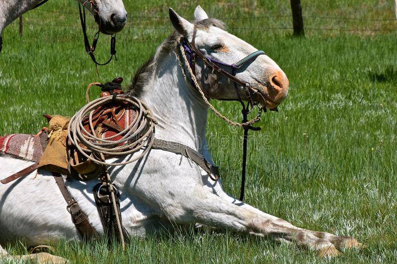 A hobbled horse in a roundup and branding. A hobbled and saddled horses rests during a roundup and branding stock image